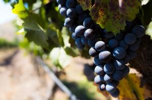 vale-chielno-maipo-chile-cabernet-sauvignon-tanino-uva