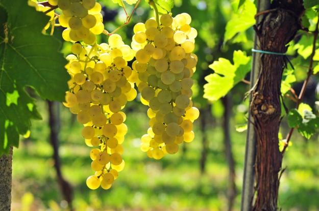 uvas-brancas-espanha-vinho-verdejo-godello-albarino
