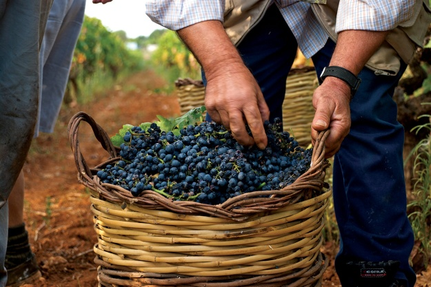 san-marzano-uva-italia-vindima