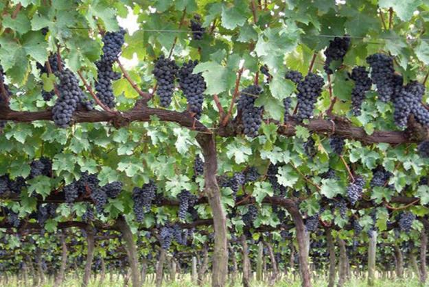 Cultivo da uva Tannat.