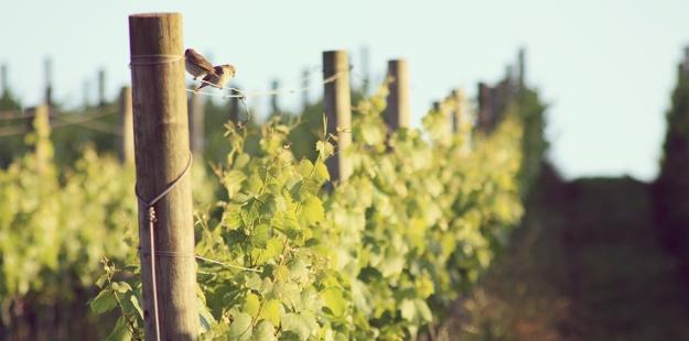 Videiras cultivadas no método espaldeira nos vinhedos da Geisse